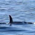 A-Pod Cast For Killer Whales show